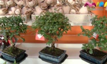 Video- El mundo del bonsai tiene su propia tienda en Torrejón