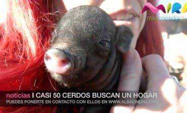 Encuentran hogar 10 de los 50 cerdos abandonados en Paracuellos