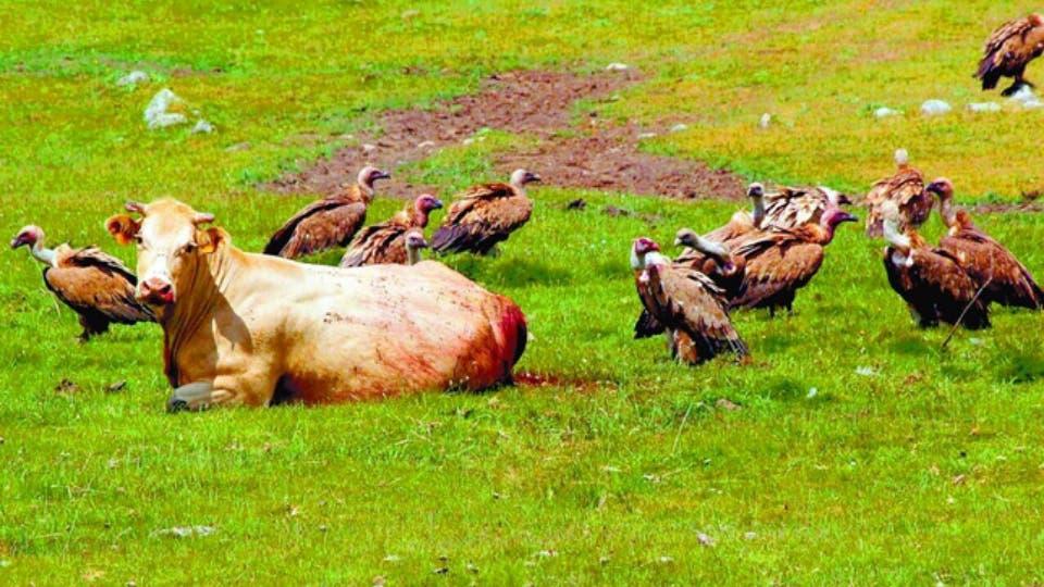 Manadas de buitres están atacando al ganado de Guadalajara
