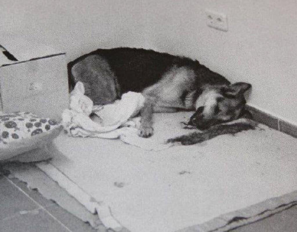 Un veterinario de Torrejón acusado de operar presuntamente a una perra sin anestesia