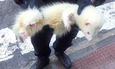 La Policía de Velilla logra capturarlo y entregárselo a su dueño tras colarse en un comercio