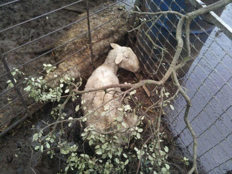 Denuncian a un ganadero de Guadalajara por dejar morir a las ovejas sin comida ni agua