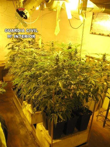 Detenido en Azuqueca por cultivar 95 plantas de marihuana en su casa