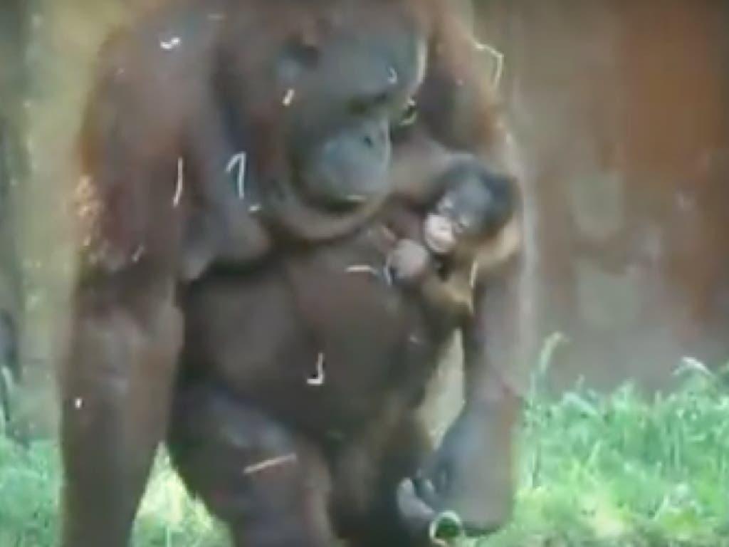 Nace una nueva cría de orangután en el Zoo de Madrid
