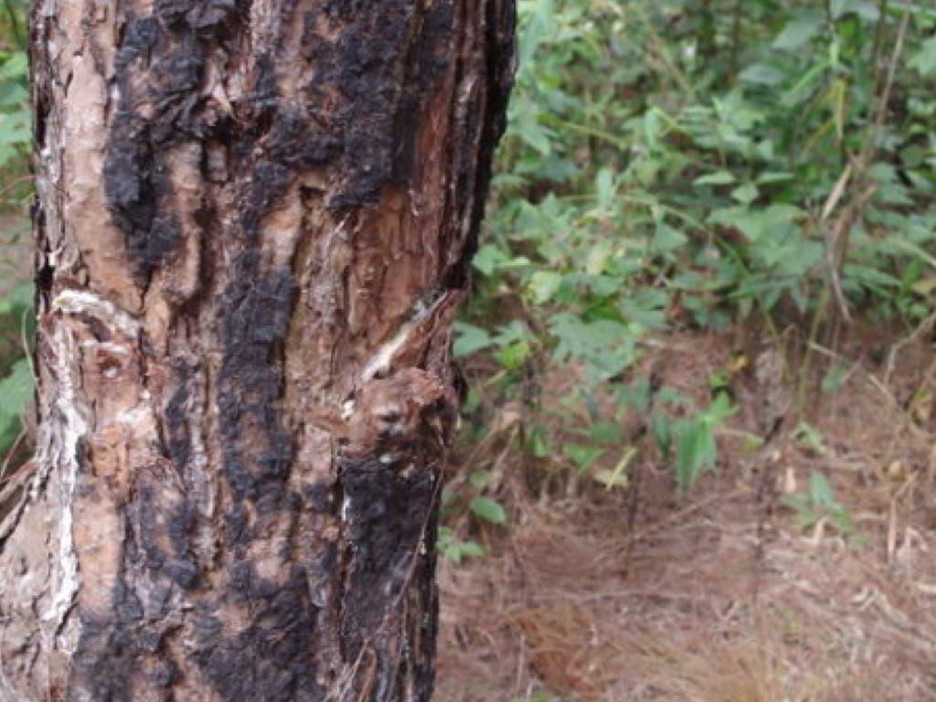 Rivas alerta de la aparición de varios árboles «asesinados» en las calles