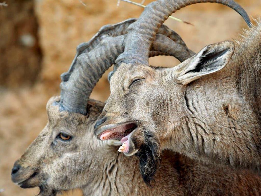 Denuncian la «matanza» de cabras en Guadarrama para reducir su población