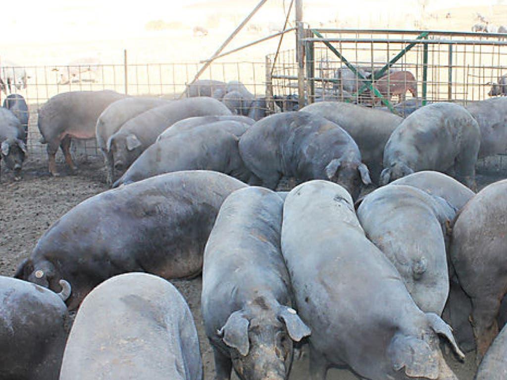 Podemos alerta de la llegada a Guadalajara de dos macro explotaciones porcinas