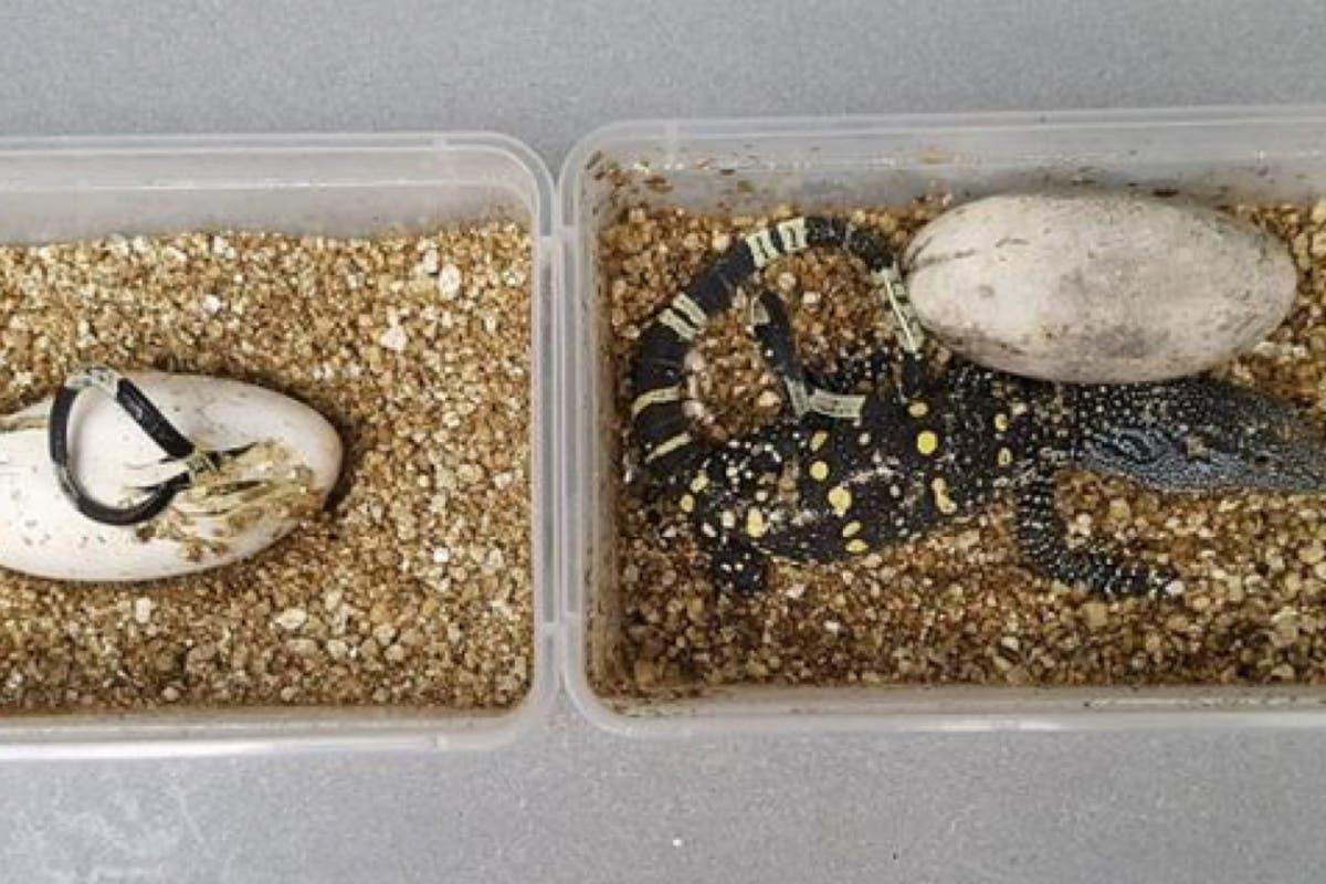 El extraño nacimiento de cinco crías de Varano Cocodrilo en el Zoo de Madrid