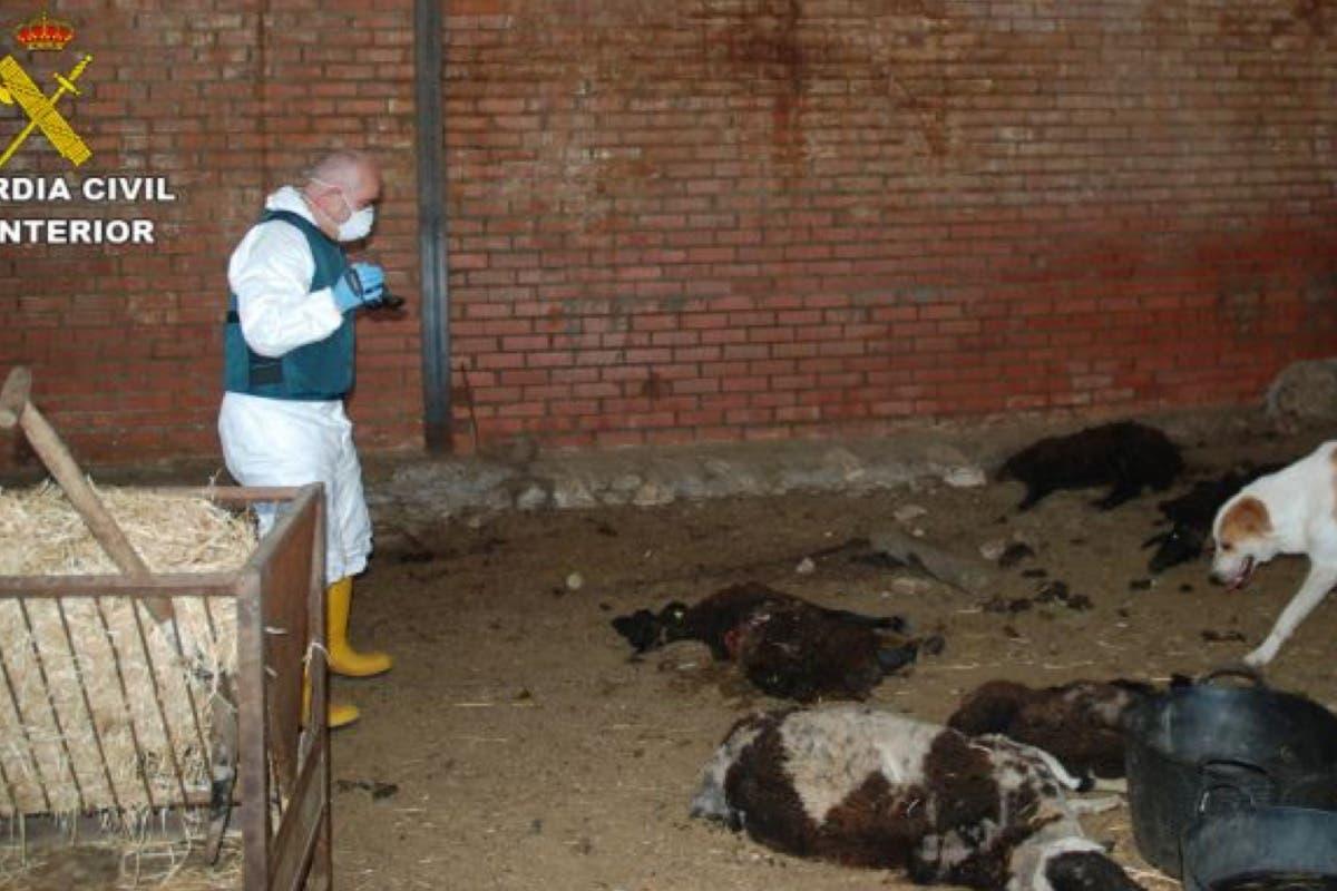 Detenido un ganadero de Arganda por tener en una finca ovejas muertas y perros moribundos