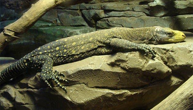 Uno de los varanos cocodrilos del Zoo de Madrid.