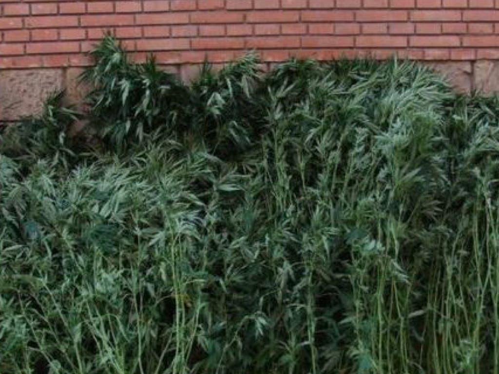 Detenida una pareja de 60 años en Mejorada con 43 plantas de marihuana en su casa