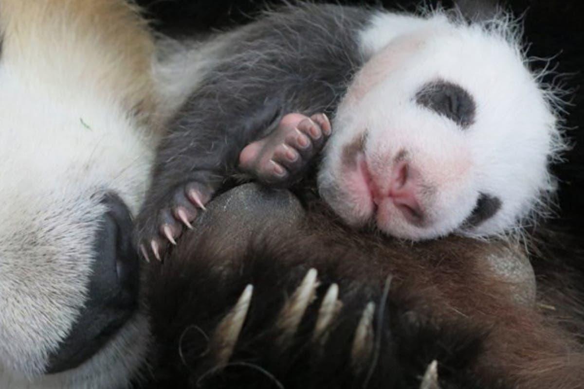 Ya se puede votar el nombre de la cría de oso panda del Zoo de Madrid