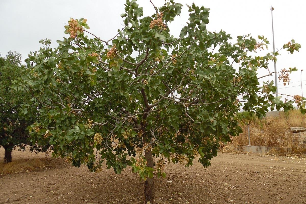 Pistacho madrileño, el oro verde que se cultiva en Arganda
