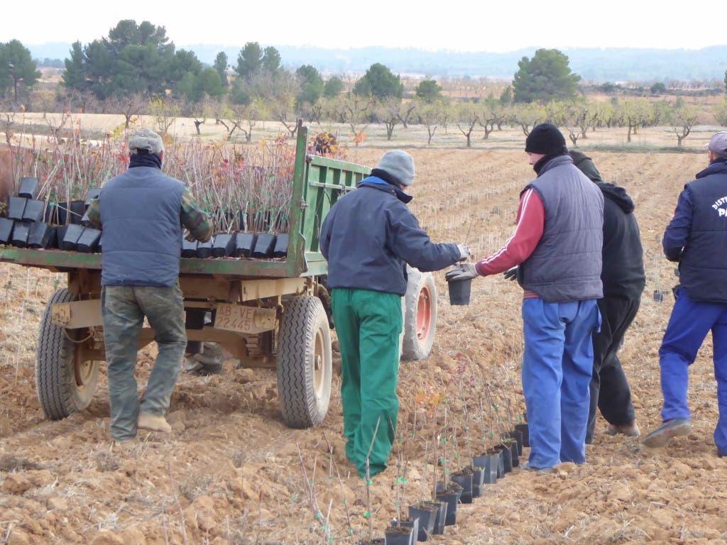 Plantanción de pistachos en la región (Comunidad de Madrid).