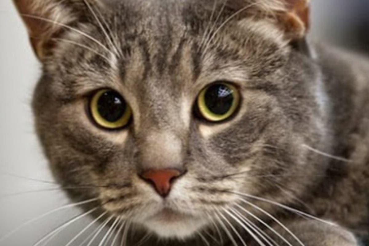 Mejorada del Campo entrega un carnet para poder alimentar a los gatos callejeros