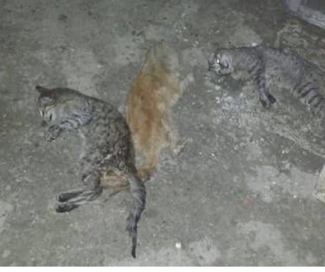El Seprona investiga la aparición de gatos muertos en Torrejón