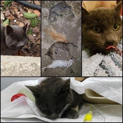 La Guardia Civil pide la colaboración para encontrar al «envenenador» de gatos de Torrejón