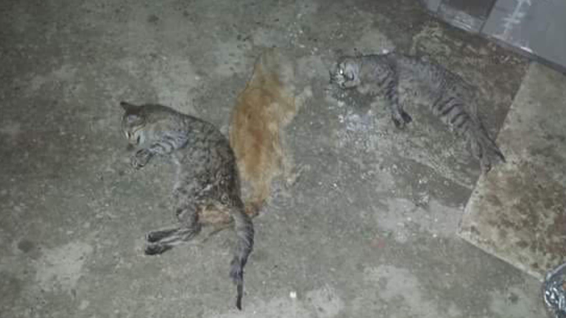 Tres gatos muertos en un solar de la calle Solana de Torrejón (cedida).