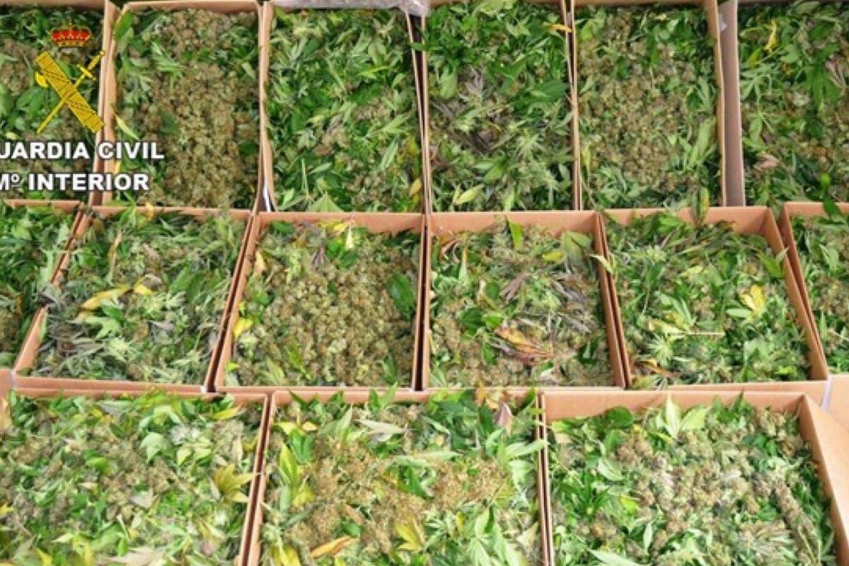 Detenido por cultivar más de 1.000 plantas de marihuana en Guadalajara