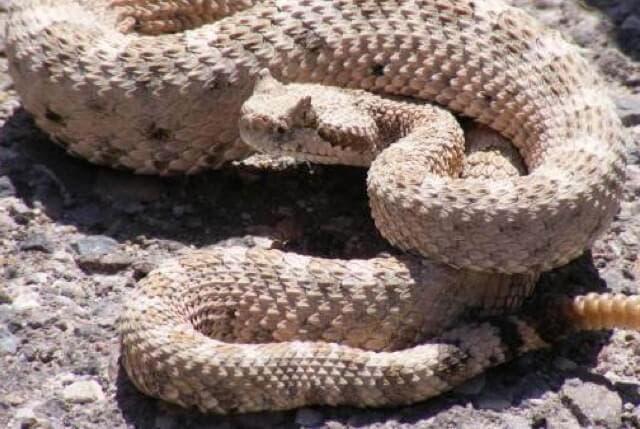La Policía investiga al joven mordido por una serpiente de cascabel en Madrid