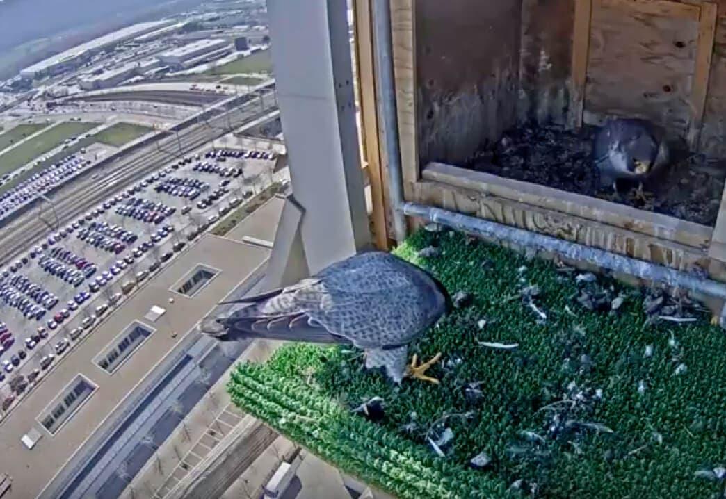 De los creadores de las cigüeñas youtubers: Los halcones de Torre Garena