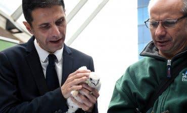 El halcón peregrino cría por segunda vez en el casco urbano de Alcalá