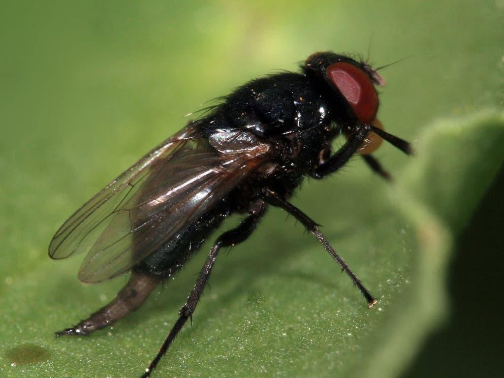 Torrejón descarta «motivos de alarma» sobre la mosca negra en el Henares