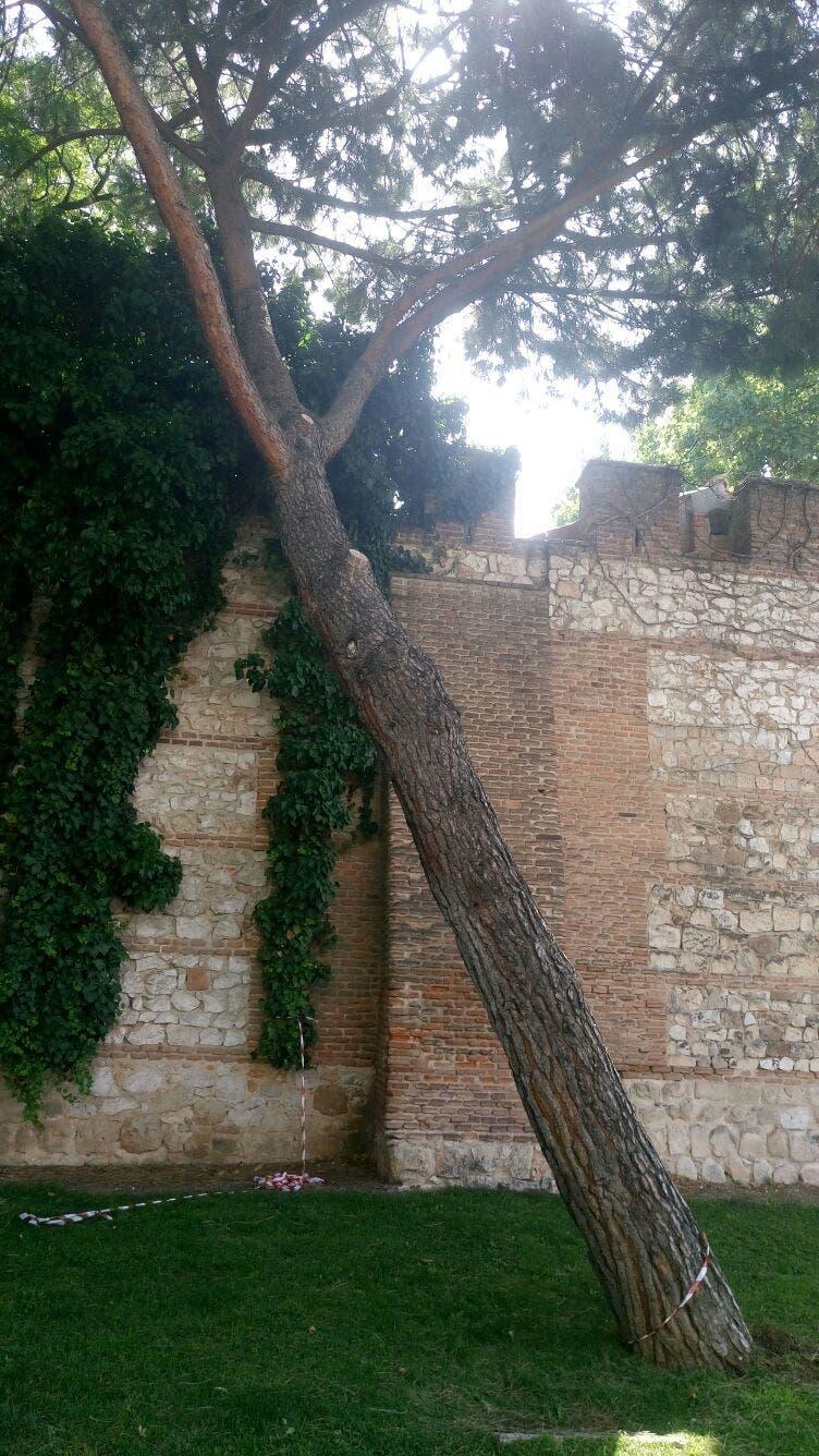 Uno de los árboles que será talado (Ayto. Alcalá).