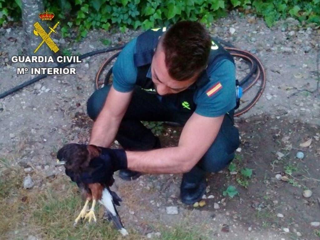 Encuentran un Águila de Harris en Guadalajara sin poder volar