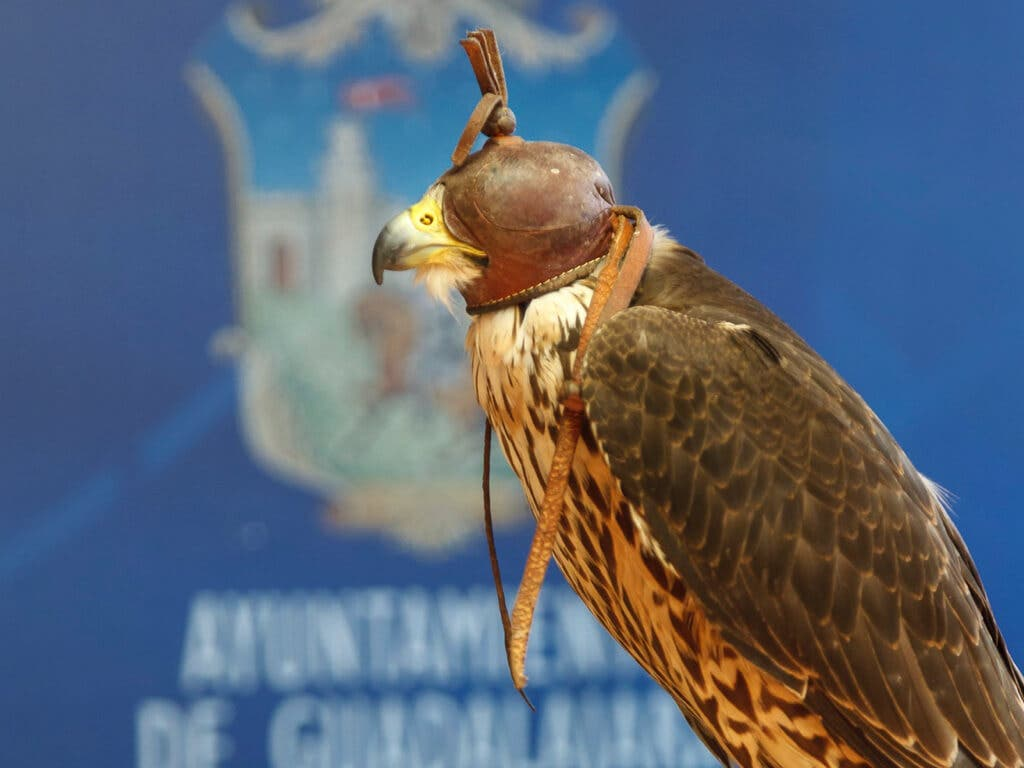 Guadalajara suelta una veintena de halcones contra la plaga de palomas