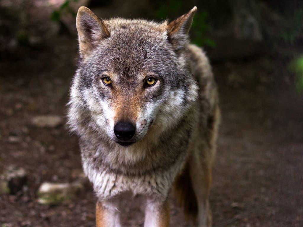 Cuatro lobos han muerto atropellados en el mismo tramo de la A-1