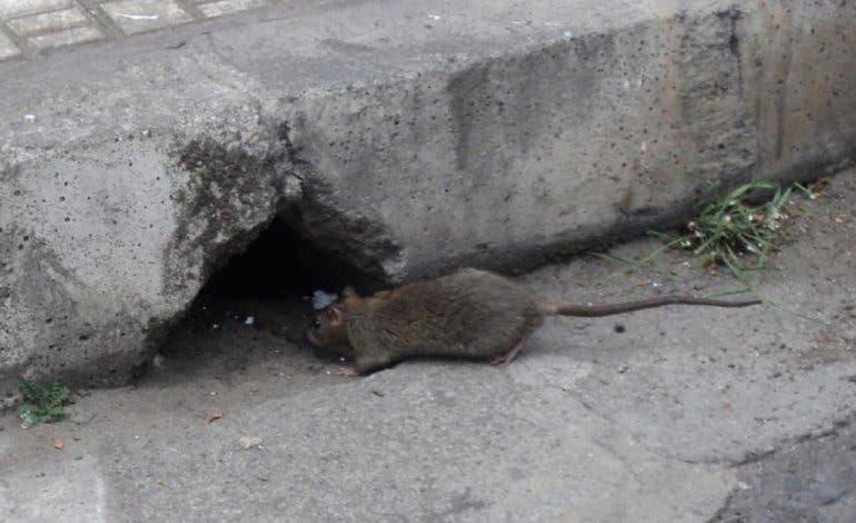 Las ratas campan a sus anchas por San Fernando de Henares