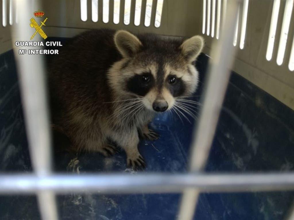 La Guardia Civil recupera un mapache en Guadalajara
