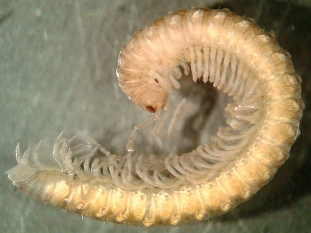 Científicos de la Universidad de Alcalá descubren una nueva especie de milpiés