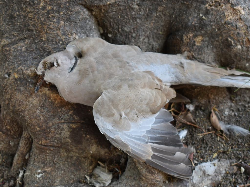Velilla investiga la aparición de palomas muertas en el municipio