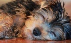 Muere un yorkshire en Guadalajara atacado por dos «perros peligrosos»