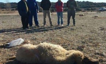 Denuncian el envenenamiento de 70 ovejas en Guadalajara