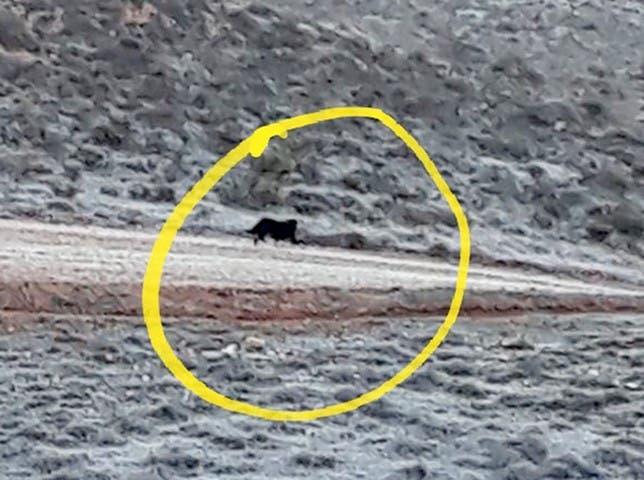 Imágenes del animal confundido con una pantera (Hacemos Guadalajara).