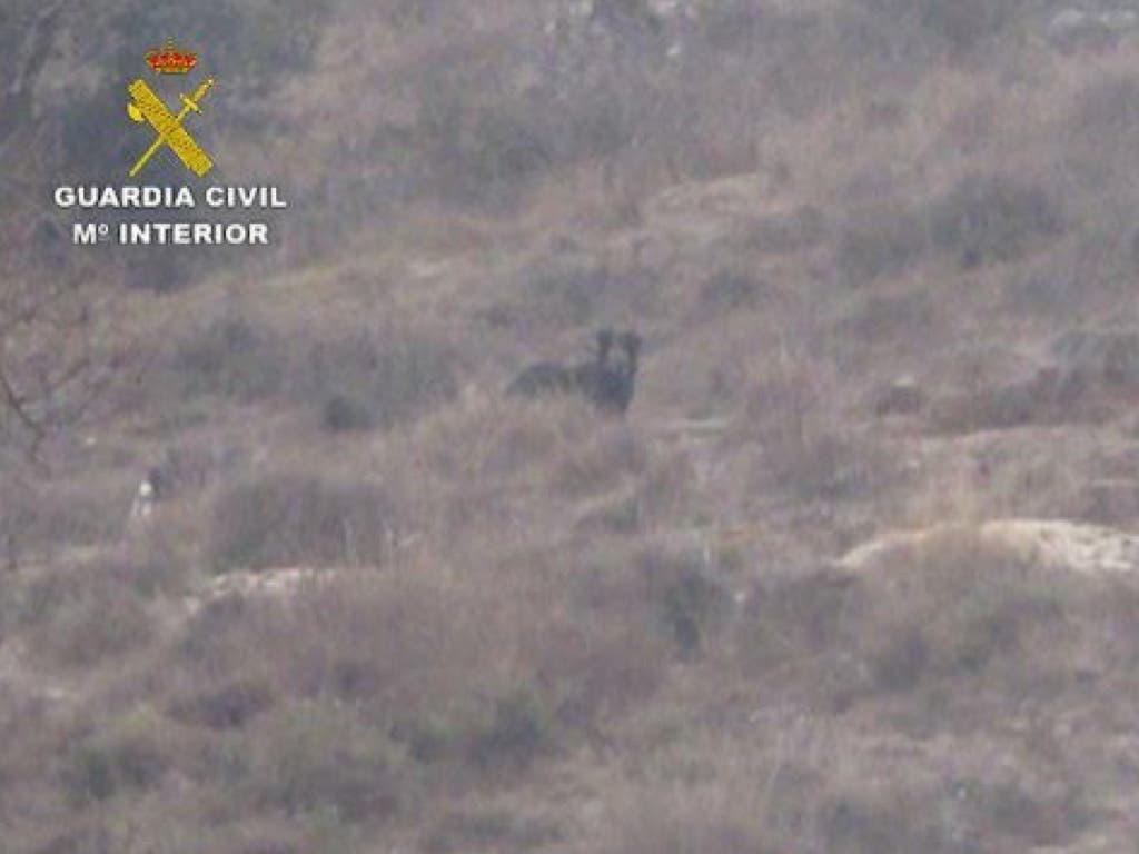 La Guardia Civil resuelve el misterio de la pantera de Guadalajara