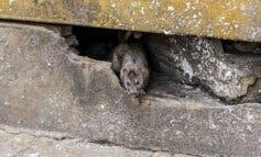 Una rata muerde a un niño en un parque de Alcalá de Henares