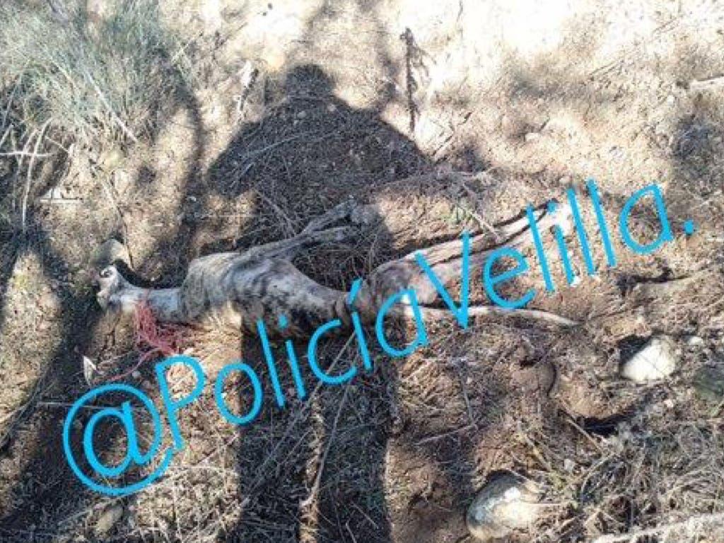 La Policía de Velilla pide ayuda para localizar al maltratador de este galgo