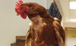 Una gallina que vagaba por las calles de Cabanillas encuentra a su dueño