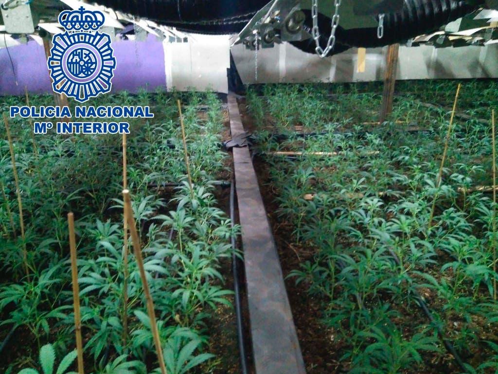 La Policía desmantela un invernadero clandestino de marihuana