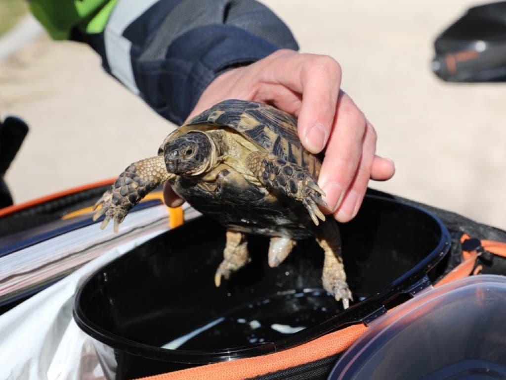 Rescatan en un parque una tortuga mora, especie protegida