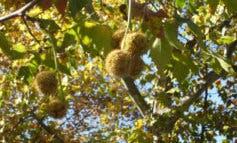 ¡Atención alérgicos! Niveles muy altos de polen en Alcalá de Henares