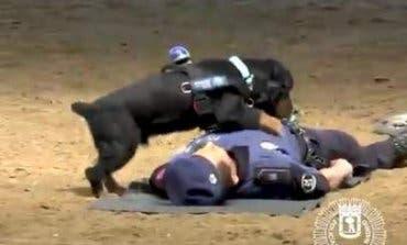 Poncho, el perro de la Policía de Madrid que sabe hacer RCP
