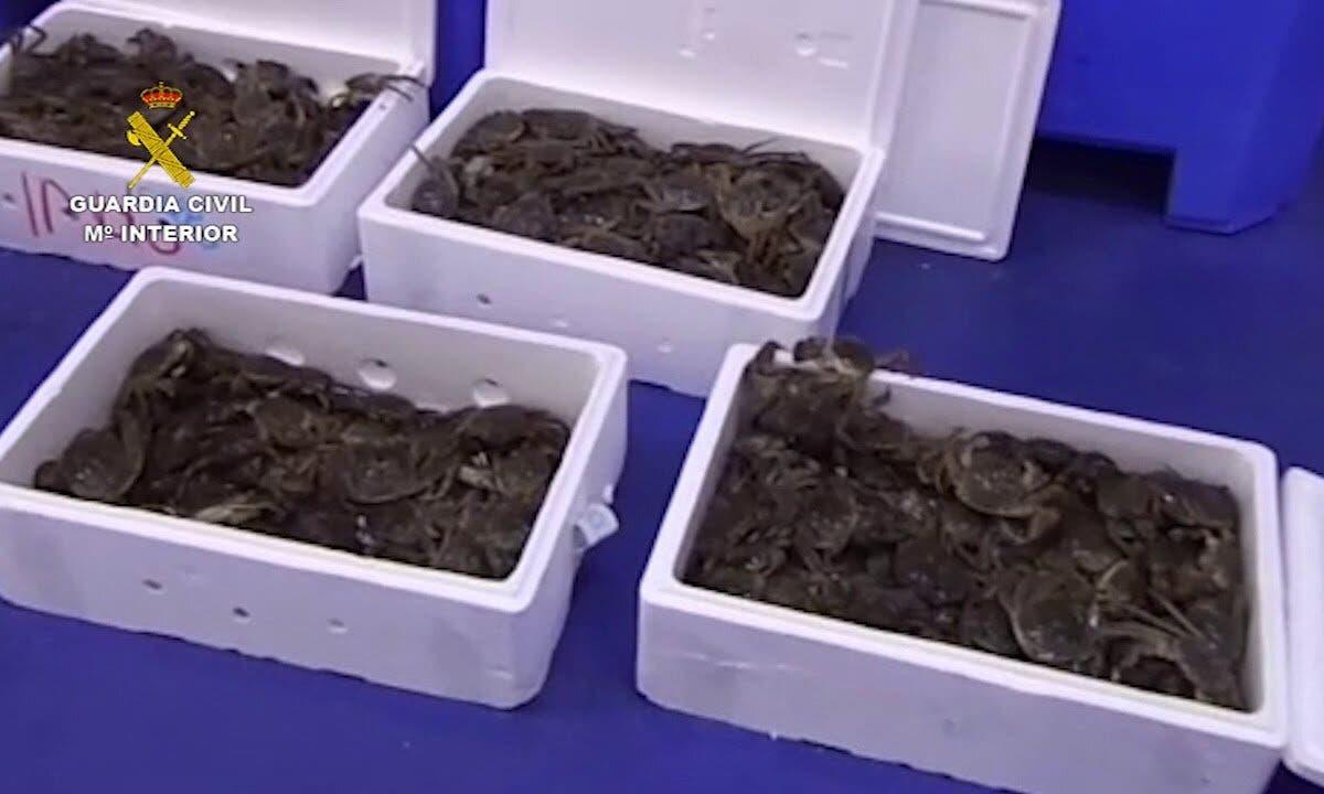 Incautados 500 cangrejos chinos en Cobo Calleja