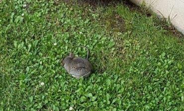 Alertan de una invasión de ratas en urbanizaciones de Villalbilla