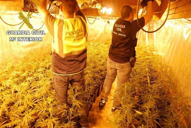 Desmanteladas cinco plantaciones de marihuana en El Casar