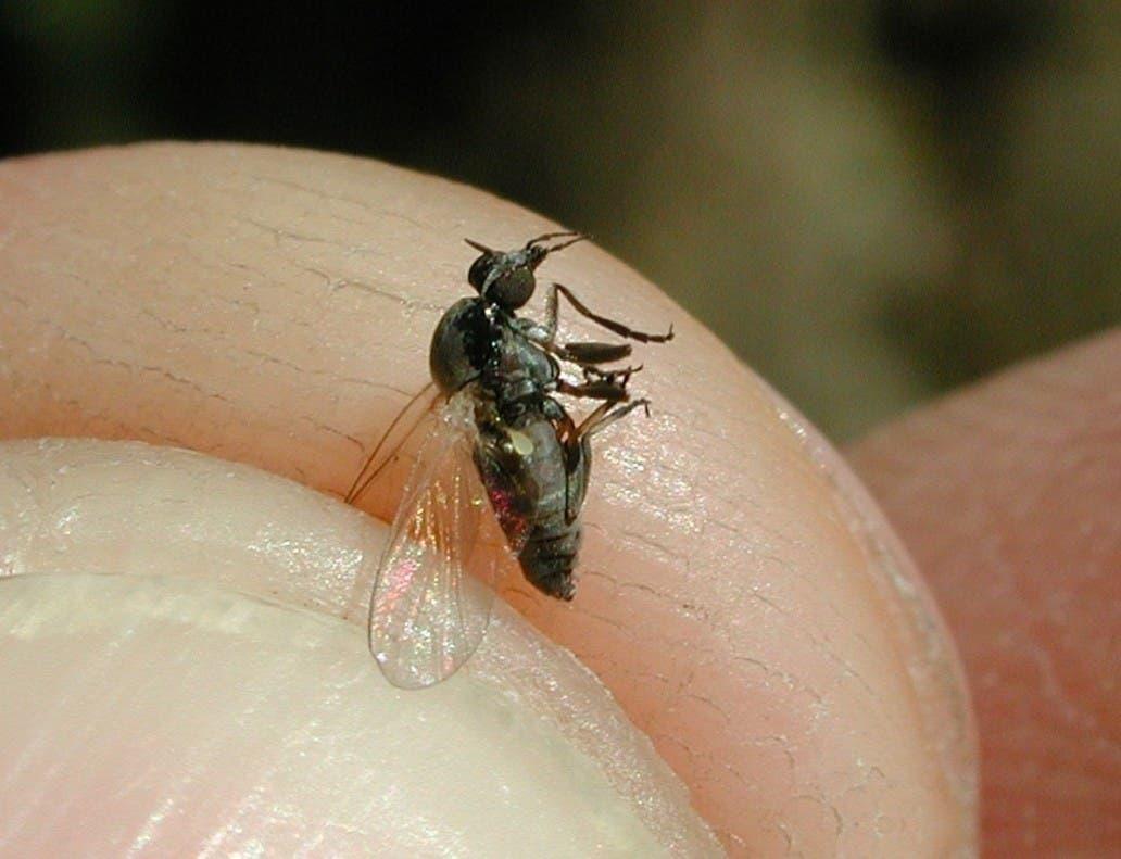 Madrid asegura que no existe una plaga de mosca negra